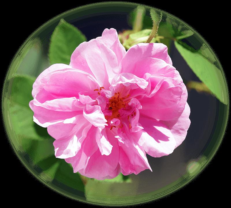 damas_rose